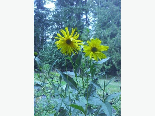 Heliopsis Helianthoides Oxeye Sunflower