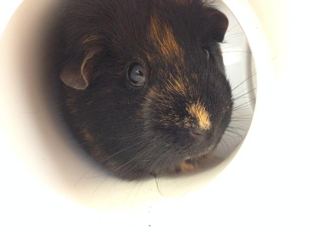 Harvey - Guinea Pig Small Animal