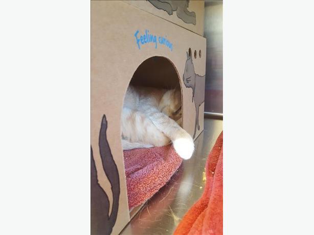 Sassafrass - Domestic Short Hair Cat
