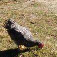 Organic Heritage Chicken