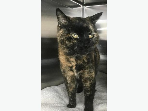 Patches - Domestic Short Hair Cat