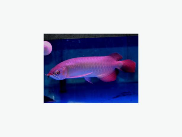 First grade Arowana fishes and freshwater stingray Available in stock now .
