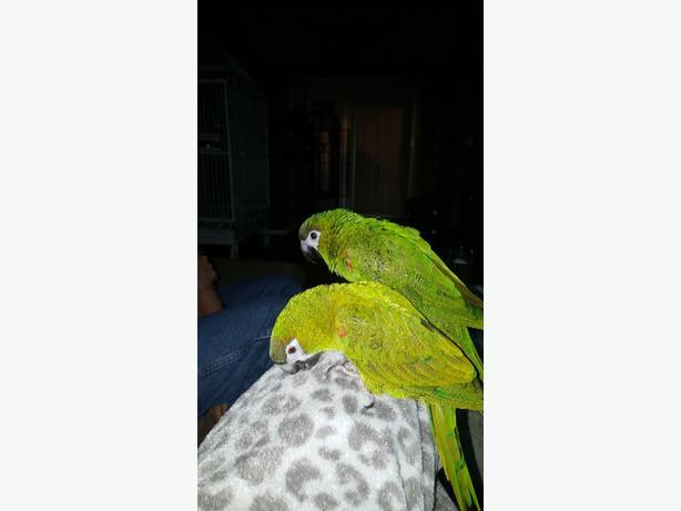 2 Hahns Macaws