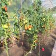 Green Tomatoes ( Beefsteak ) Certified Organic