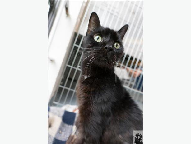 Elmer *in Foster* - Domestic Short Hair Cat