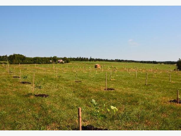 PEI Black Walnut saplings for sale