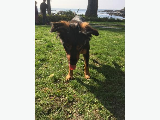Dog found without owner at Big Beach Ucluelet