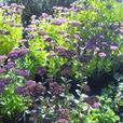 Sedum Autumn Joy and Sedum telephium 'Matrona', Verbena bonariensis