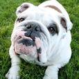 English Bulldog For Adoption