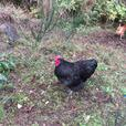 Show and Breeding Quality Black Australorp Cockerels