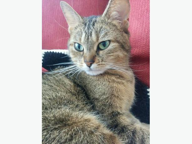 4 Year Old Female Tabby