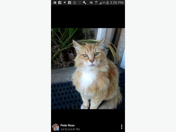 Lost Cat ( Duncan, Marsh road area )
