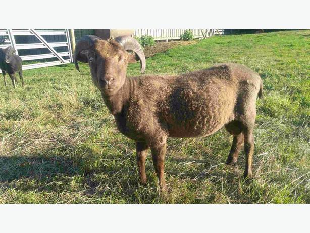 PB Icelandic Ram lamb