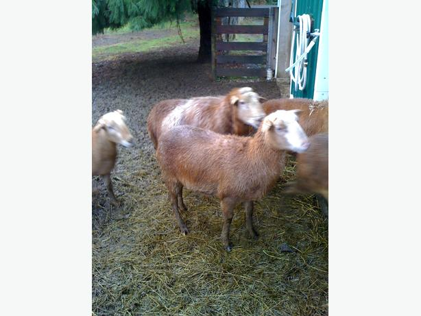 Ewe Lambs ready to be bred