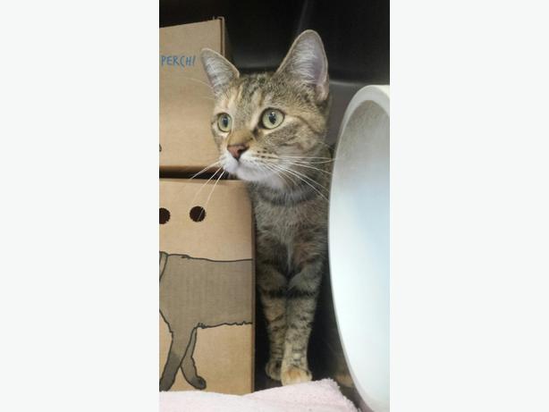 Spruce - Domestic Short Hair Cat