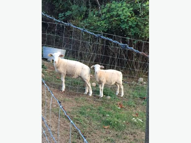 Katahdin and Katahdin/Dorper Cross bred Ewes and lambs