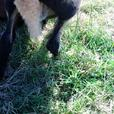 Black Belly Lamb for sale