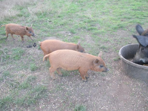 Pairs of Wild breeding hogs