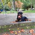 Sadly rehoming our 16 month old male rotti