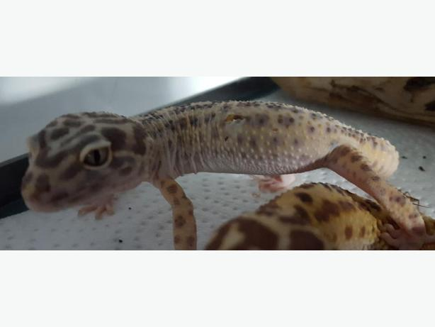 Hansel-Spotted Leopard Gecko 1 - Gecko Reptile - Exotic