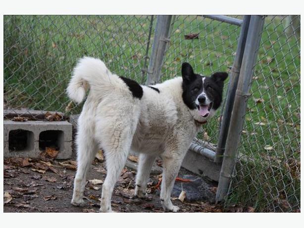 Gypsy - Husky Dog