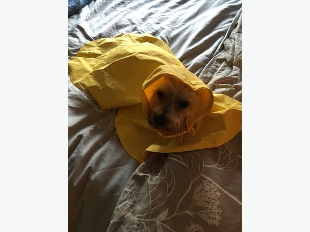 small dog's raincoat