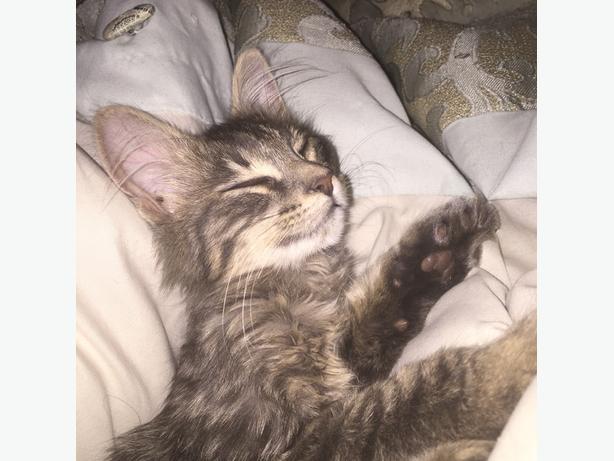 LOST 6mon old grey kitten in Rol