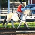 Sporty 8 Year Old Fjord Mare