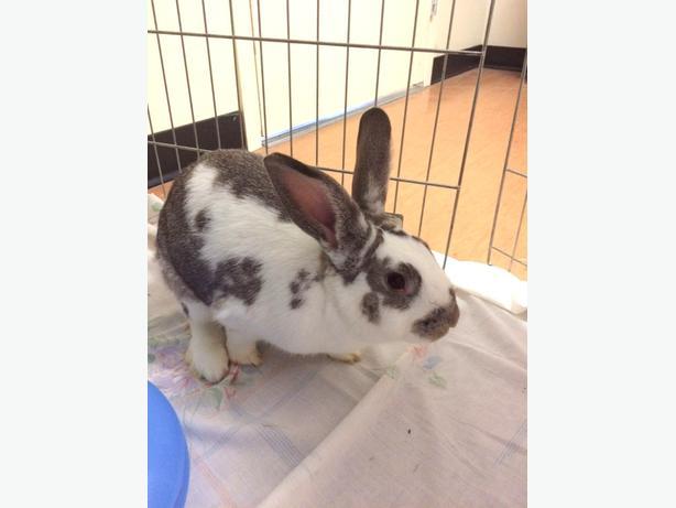 Lenny - Lop Eared Rabbit