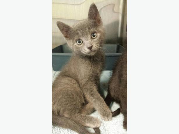 Nickel - Domestic Short Hair Kitten