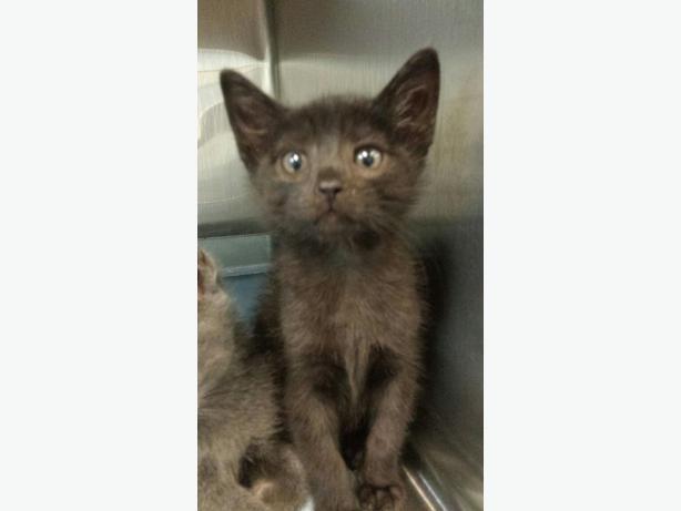 Dime - Domestic Short Hair Kitten