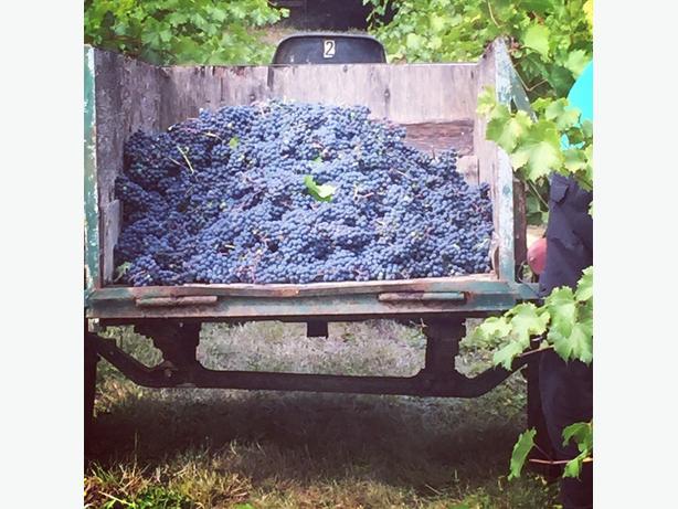 U-pick vineyard