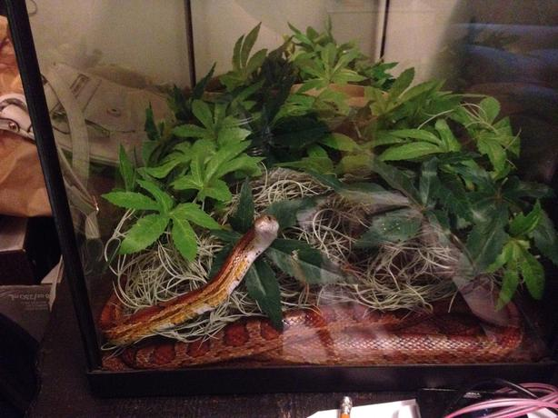 red female cornsnake and tank
