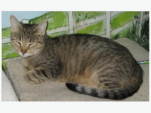 Linnie - Domestic Short Hair Cat