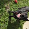 Andy - German Shepherd Dog