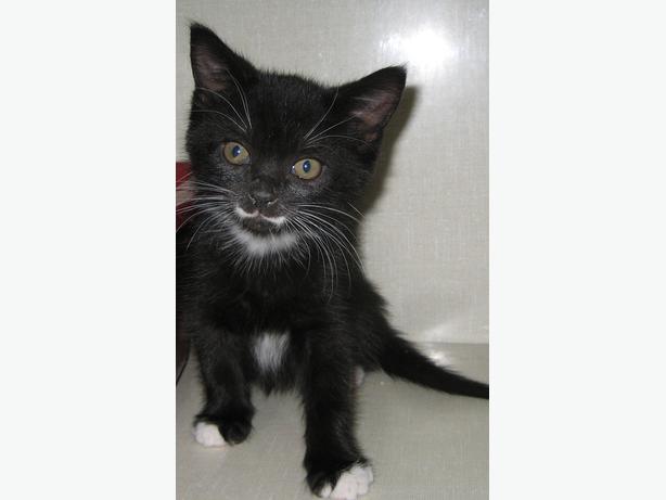 Stash - Domestic Short Hair Kitten
