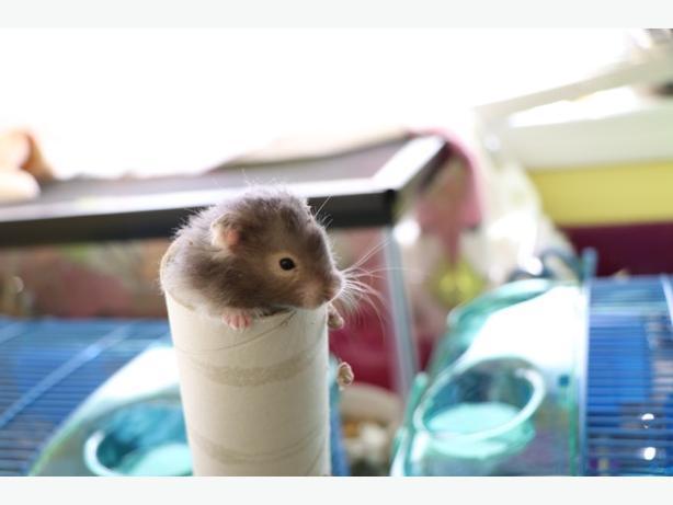 Fluff - Hamster Small Animal