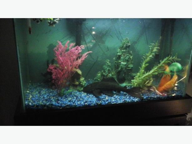 Plecostomus - Catfish Sucker