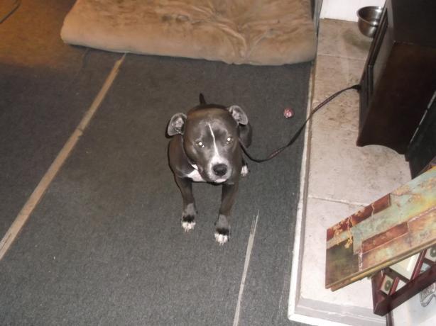 Purebred Bluenose pitbull female 2 yr old