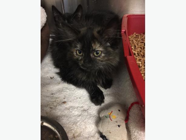 Brooklyn - Domestic Medium Hair Kitten