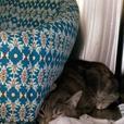 Happy - Domestic Short Hair Cat