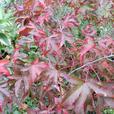 15 gallon size Acer palmatum Kinpai