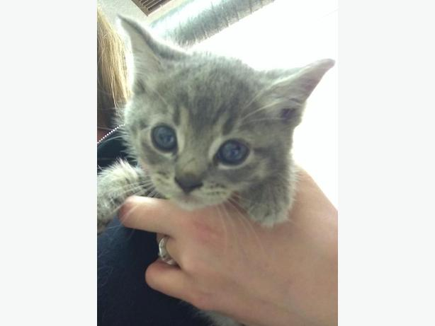 Elated - Domestic Short Hair Kitten