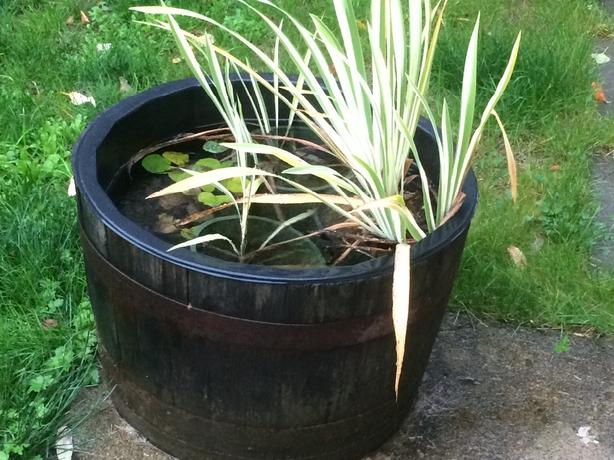 aquatic plants for water garden