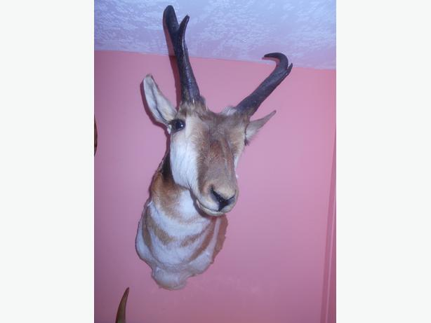 Pronghorn Antelop and Mountian Goat Head Taxidermied