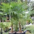 45 gallon size Windmill Palm, Trachycarpus fortunei