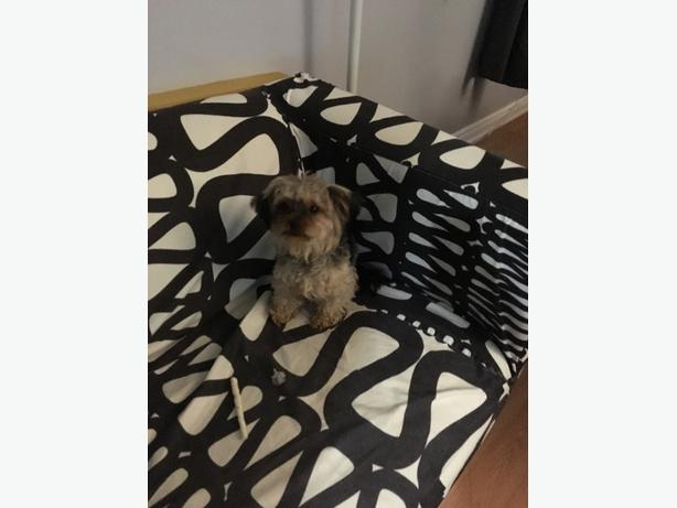 1  year old male chorkie looking for his forever home
