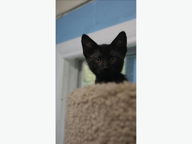 Celeste - Domestic Short Hair Kitten