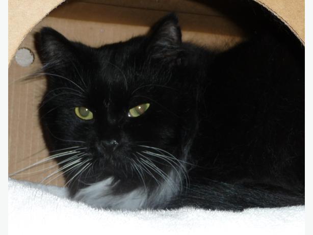 Flouff - Domestic Longhair Cat
