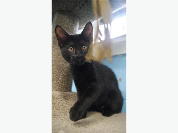 Piper - Domestic Short Hair Kitten